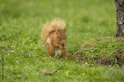 Printed kitchen splashbacks Red squirrel, Sciurus vulgaris, sitting on the grass nibbling a nut