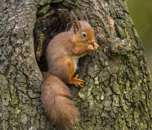 Tuinposter Eekhoorn Red squirrel, Sciurus vulgaris, sitting on the side of a tree eating a nut