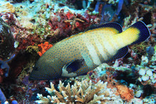Peacock Hind Grouper Fish (Cep...