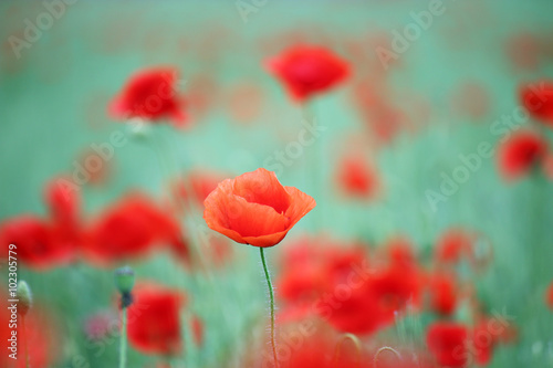 Poster Poppy red poppy flower spring season
