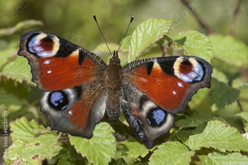 Fotografie, Obraz  Inachis io, mariposa pavo real