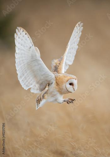 Barn owl in flight before attack, clean background, Czech Republic Fototapete