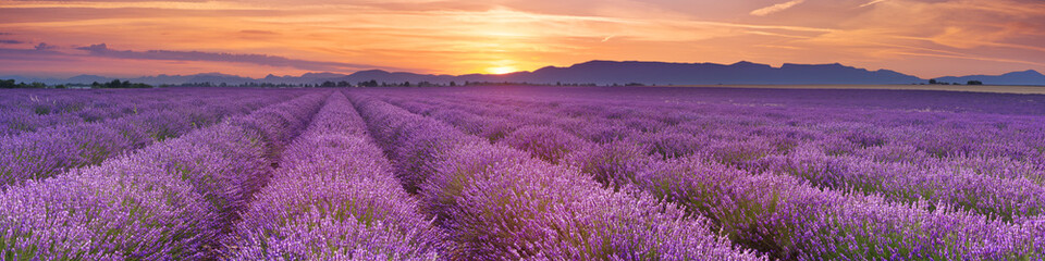 Fototapeta Lawenda Sunrise over fields of lavender in the Provence, France