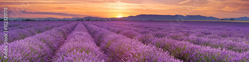 Ingelijste posters Cultuur Sunrise over fields of lavender in the Provence, France
