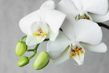 White Orchidea.