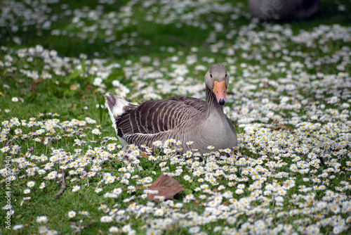 duck among daisies in fota wildlife park near cobh Poster
