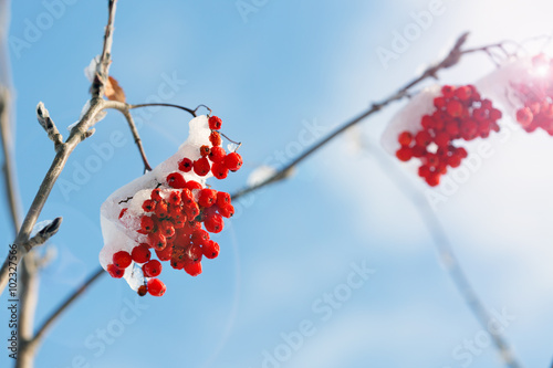 Fotografie, Obraz  Frozen rowanberry under the first snow. Selective focus