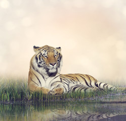 Fototapeta na wymiar Male Tiger Resting