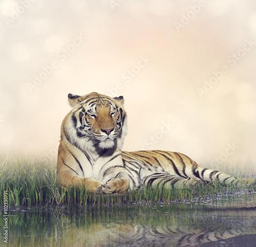 Obrazy na płótnie Canvas Male Tiger Resting