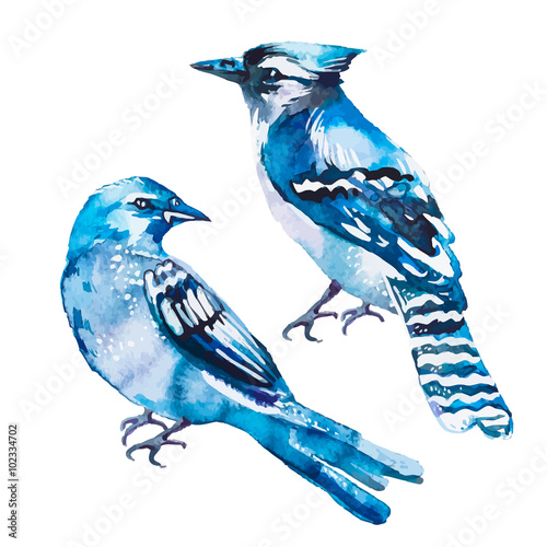 Fotomural Blue jay isolated on a white background. Watercolor. Vector.