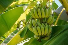 Bunch Of Ripening Bananas On Tree