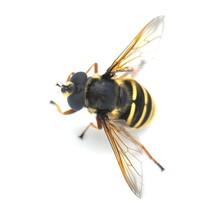 The Hover Fly Sericomyia Silentis Isolated On White Background