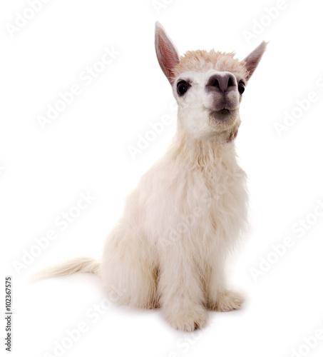 Poster Lama Tierischer Mutant: Alpaka und Hund