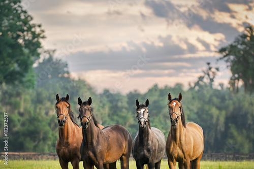 Four horses equine friends herd wearing halters outside in a paddock field meadow with a beautiful sky waiting watching alert listening