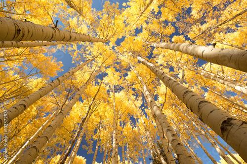 Foto op Aluminium Oranje aspen forest