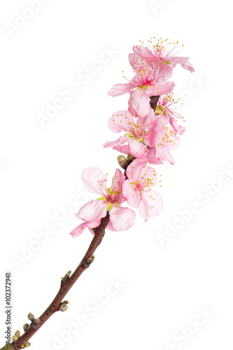 Photo  Almond tree blossoms isolated on white