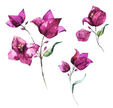 Watercolor Vector Bougainville...