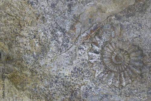 Steinplatte mit Ammonit, Hintergrund