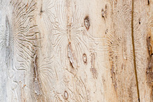 Bark Beetle Engraving The Sapwood
