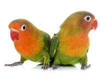 Young Fischeri Lovebirds