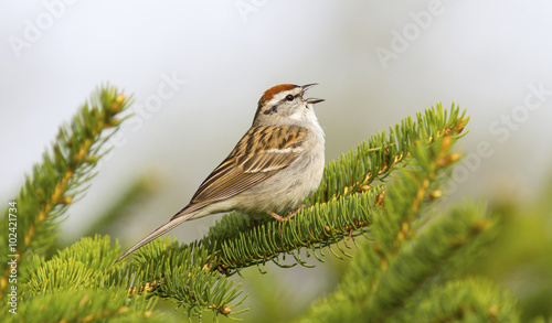 Stampa su Tela Chipping sparrow songbird in an evergreen tree