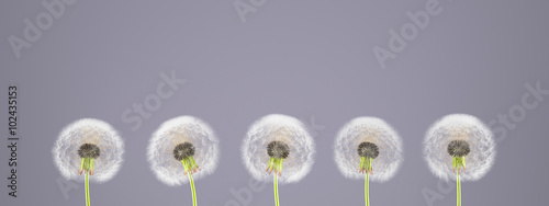 dandelion on colorful background.3d rendering