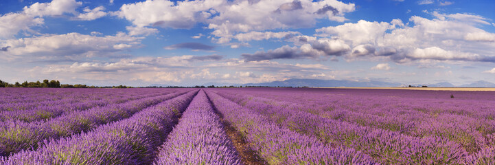 Fototapeta Lawenda Blooming fields of lavender in the Provence, southern France