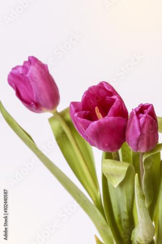 Wall Murals Tulip pink tulips