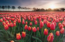 Sunrise Sun Over Red Tulip Field In North Holland