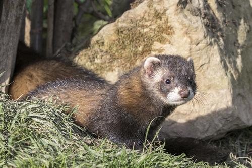 Fotografija  Polecat (Mustela putorius)