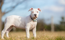 White American Staffordshire Terrier Puppy Standing On Grass