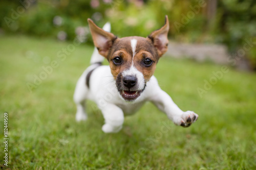 A very happy puppy is running with flappy ears trough a garden with green grass. It almost looks like he can fly. His mouth is open showing his tiny canine teeth. © Bastiaan Schuit