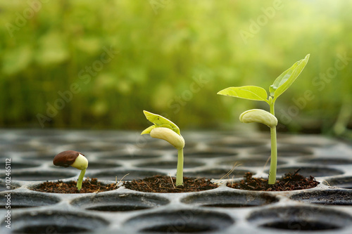 Garden Poster Roe Agriculture , Baby plants seeding - young baby bean plants seedling on over green background ,seed planting
