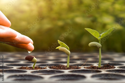Photo Stands Roe Agriculture , Baby plants seeding - Farmer hand watering young baby bean plants seedling on over green background ,seed planting