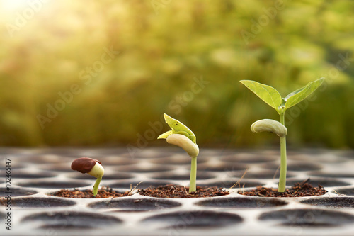 Poster Roe Agriculture , Baby plants seeding - young baby bean plants seedling on over green background ,seed planting