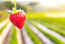 Strawberry With Planting Straw...