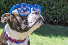 Cute Boston Terrier Dog Wearin...