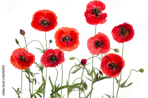 In de dag Poppy red poppies isolated on white background