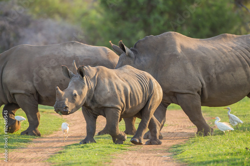 Young Rhino walking across the road with its family