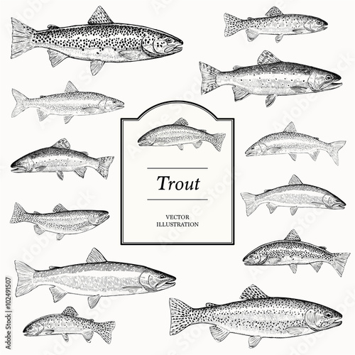 Canvas Print trout illustrations