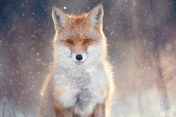 Fototapeta red fox in winter forest Pretty
