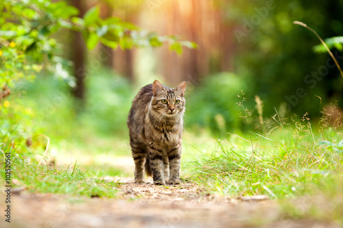 Papel de parede  Cat walking in the forest in summer