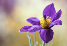 Pulsatilla Flower Also Referred To As The Pasque Flower