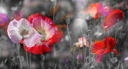 Fototapetasummer meadow with red poppies