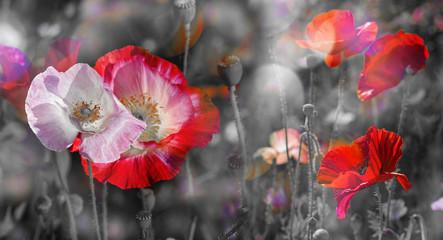 Fototapeta Wieloczęściowe summer meadow with red poppies