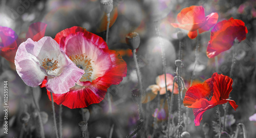 Poster Poppy summer meadow with red poppies