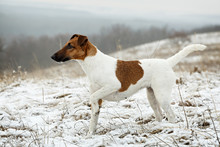 Smooth Fox Terrier Standing In The Rack On A Flat Snow Surface.