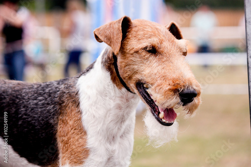 Photo  Portrait of happy fox terrier
