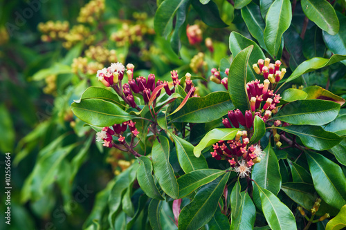 Obraz na plátne Woman sniffing fresh red raw sticks and blooming flowers growing on clove tree