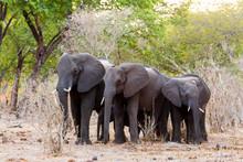 African Elephants At Green Bush